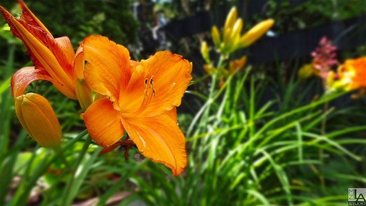 "Liliowiec ogrodowy ""Mauna Loa"""