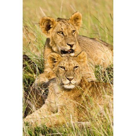 Group of lion cubs Panthera leo Masai Mara Kenya Canvas Art - Adam Jones DanitaDelimont (24 x 35)