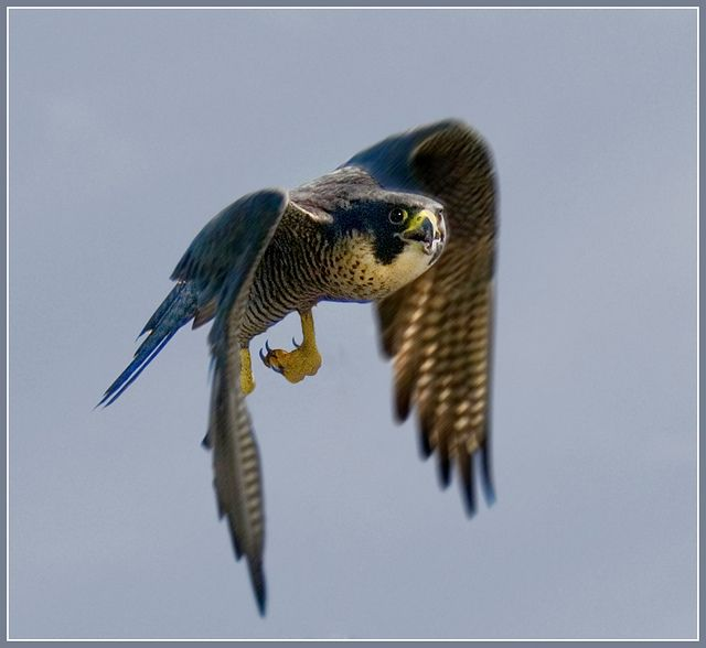 Peregrine falcon in flight - the fastest flying bird in the world, up to 250mph - Peregrine falcons can focus on two objects at the same time, also they effectively see in slow motion, which enables them to catch their prey so well.