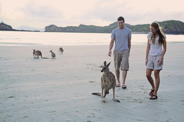 Kangaroos on Beach: Mackay, Queensland, Australia