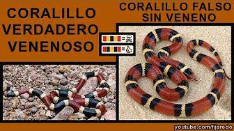 las serpientes venenosas de catalunya - YouTube