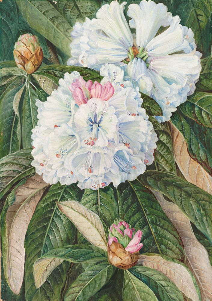 234. Foliage And Flowers Of The Indian Rhododendron Grande. Prints By  Marianne North |