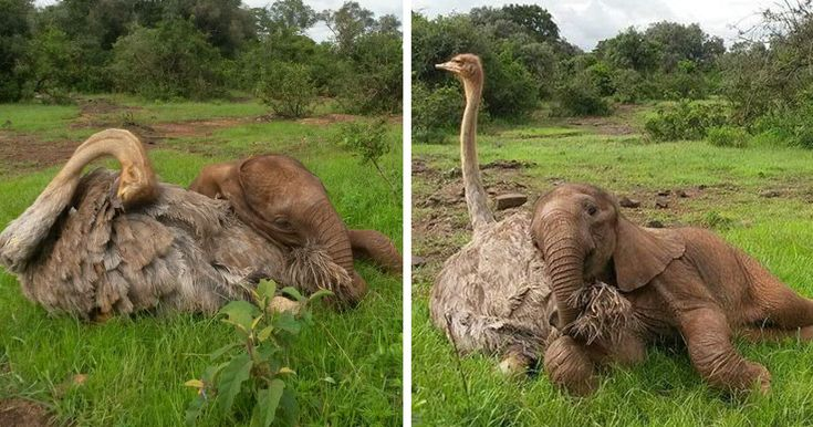 Este avestruz se acurruca junto a un elefante huérfano para ambos sentirse mejor tras perder a sus padres | Bored Panda