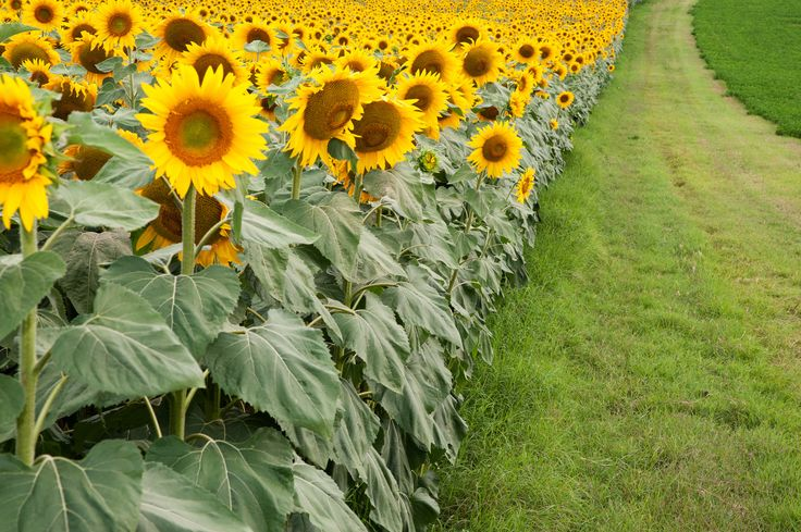 sunflower field - sunflower field