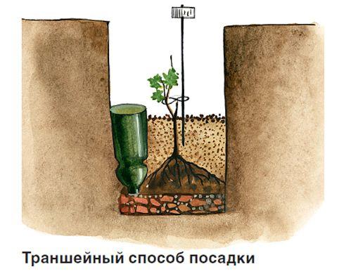 Траншейный способ посадки винограда