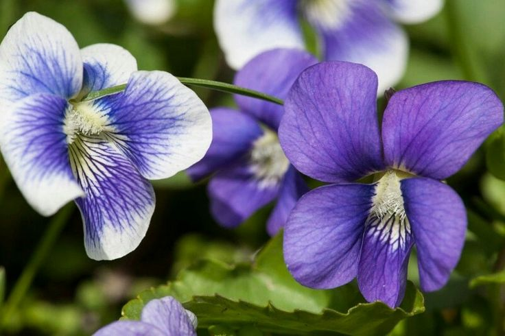 Violets, Wisconsin's State Flower...Imagine buffalo