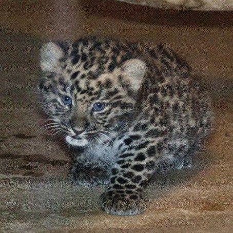 Мяу!  Продолжаем историю восстановления популяции леопардов на Кавказе.  С 2007 года продолжается строительство Центра разведения и реабилитации переднеазиатского леопарда В сентябре 2009 года в Центр разведения и реабилитации были привезены два леопарда-самца из Туркменистана В апреле 2010 года в Центр были доставлены две самки из Ирана В октябре 2012 года из Лиссабонского зоопарка в Центр была привезена сформировавшаяся пара леопардов. В июле 2013 года у пары леопардов, привезённых из…