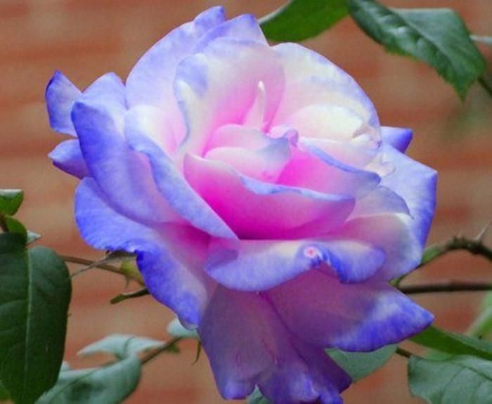 Light Purple Pink And White Rose Seeds *Seeds Package* New Arrival Three Colors Ombre Charming Garden Plants From Manweisi, $3.14 | Dhgate.Com