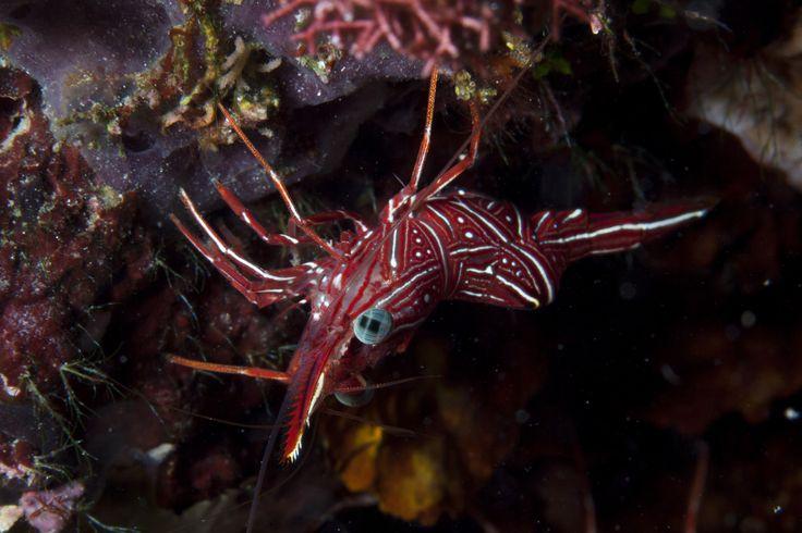 Hingeback Shrimp   Flickr - Photo Sharing!