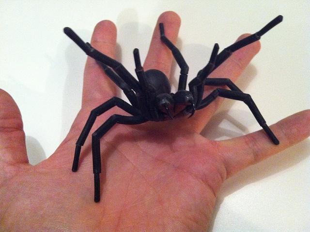 Male Sydney Funnel Web Spider