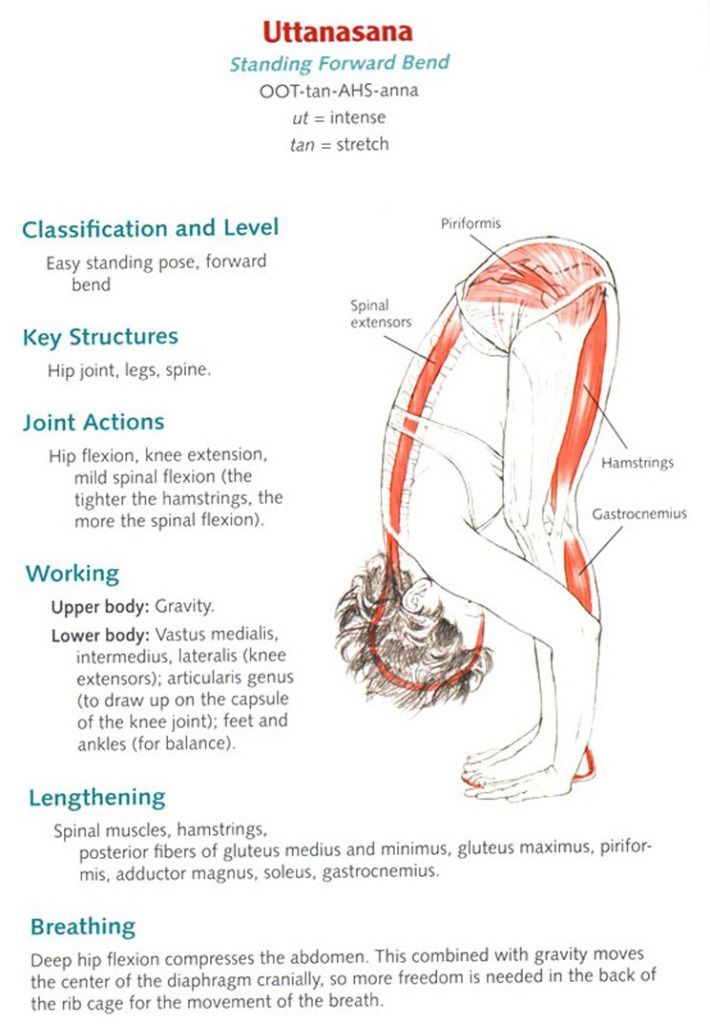 Uttanasana - Standing Forward Bend Anatomy