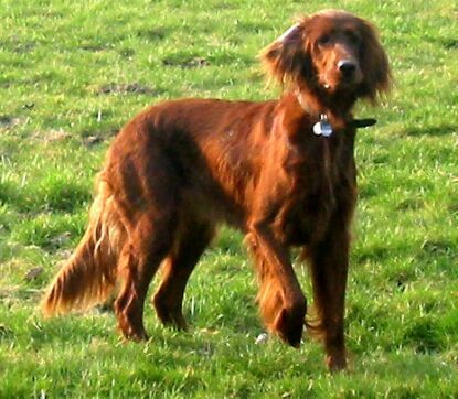 Worksheet. 72 best Irish Setter images on Pinterest  Irish setter puppies