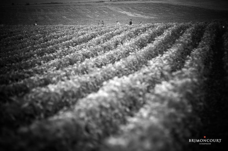Black and White vineyard #champagne #Brimoncourt