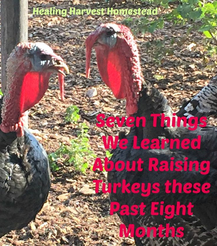 Seven Lessons We Learned about Raising Turkeys in the Last Eight Months - http://www.healingharvesthomestead.com/home/2016/10/2/five-lessons-we-learned-about-raising-turkeys-these-past-months