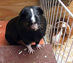 The history of The Madness   CavyMadness (pictured: Portia, 1998-2003, and Cordelia)