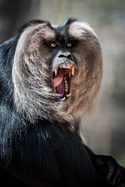 macaque monkey - scream
