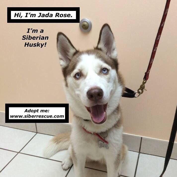 #Florida JADA ROSE #Siberian #Husky for #adoption: www.siberrescue.com #share