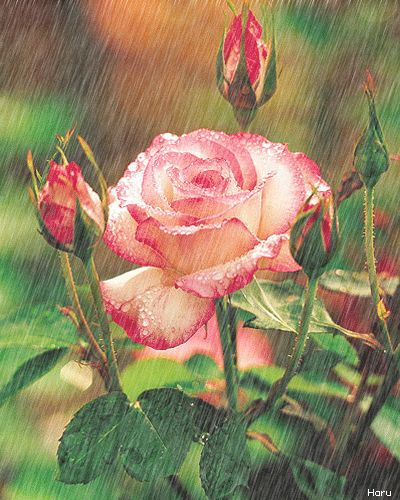Raindrops on Roses, prayed this morning for You that God would shower you with Blessings Today. I love you Dear Friend xoxo Adeline