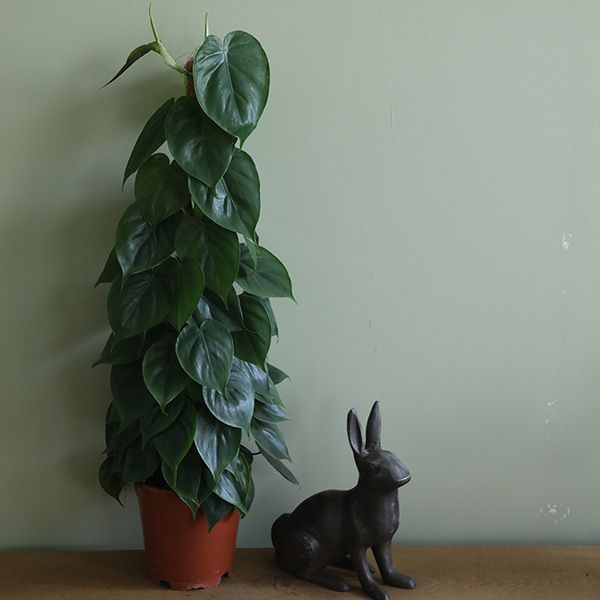 Buy heart-leaf Philodendron scandens: Delivery by Waitrose Garden in association with Crocus