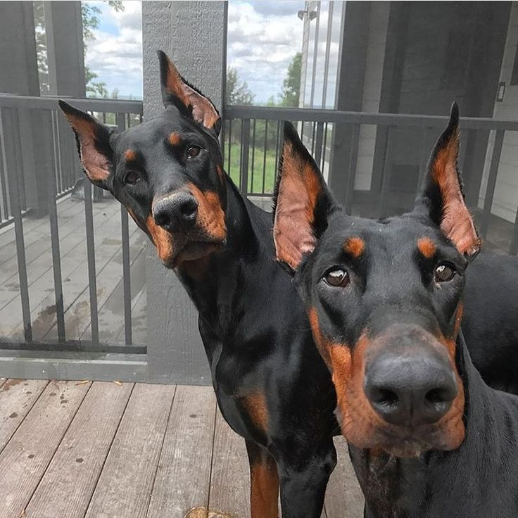 """6,754 Likes, 61 Comments - Doberman Pinscher Gear (@dobermanpride) on Instagram: """"Do you want to play? Yes please. @dobermans_indy.and.daphny"""""""