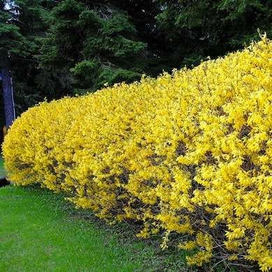 Living Fences: Forsythia hedges 11 Boundary-Setting Solutions from bobvila.com
