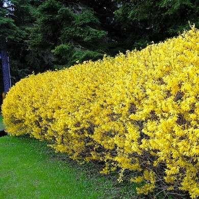 Living Fences: Forsythia hedges 11 Boundary-Setting Solutions from bobvila.com
