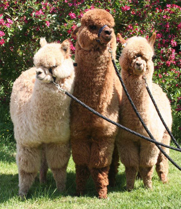 I love Alpacas!                                                                                                                                                                                 More