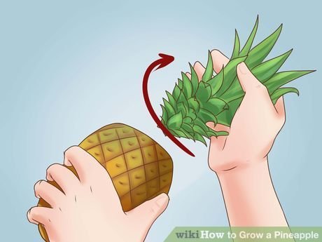 Image titled Grow a Pineapple Step 2