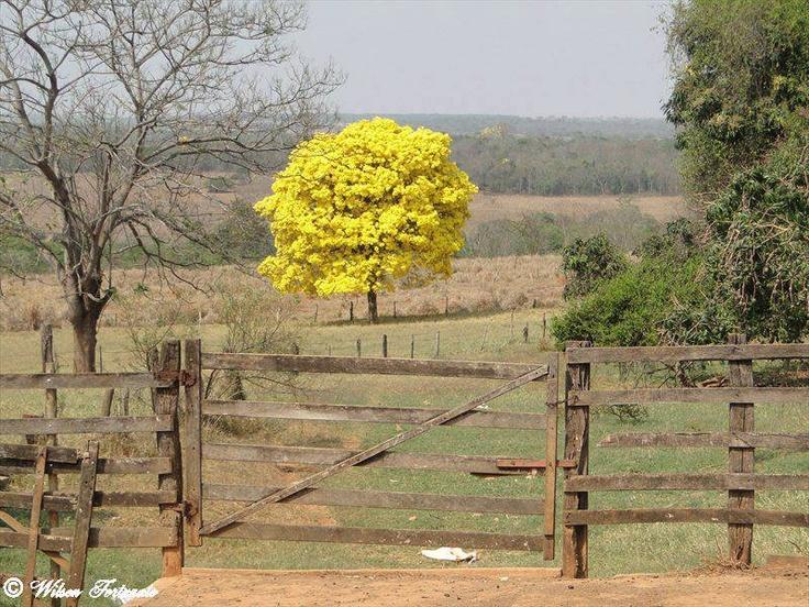 the colors of spring. Ipê amarelo / Yellow Ipe (Tabebuia alba).