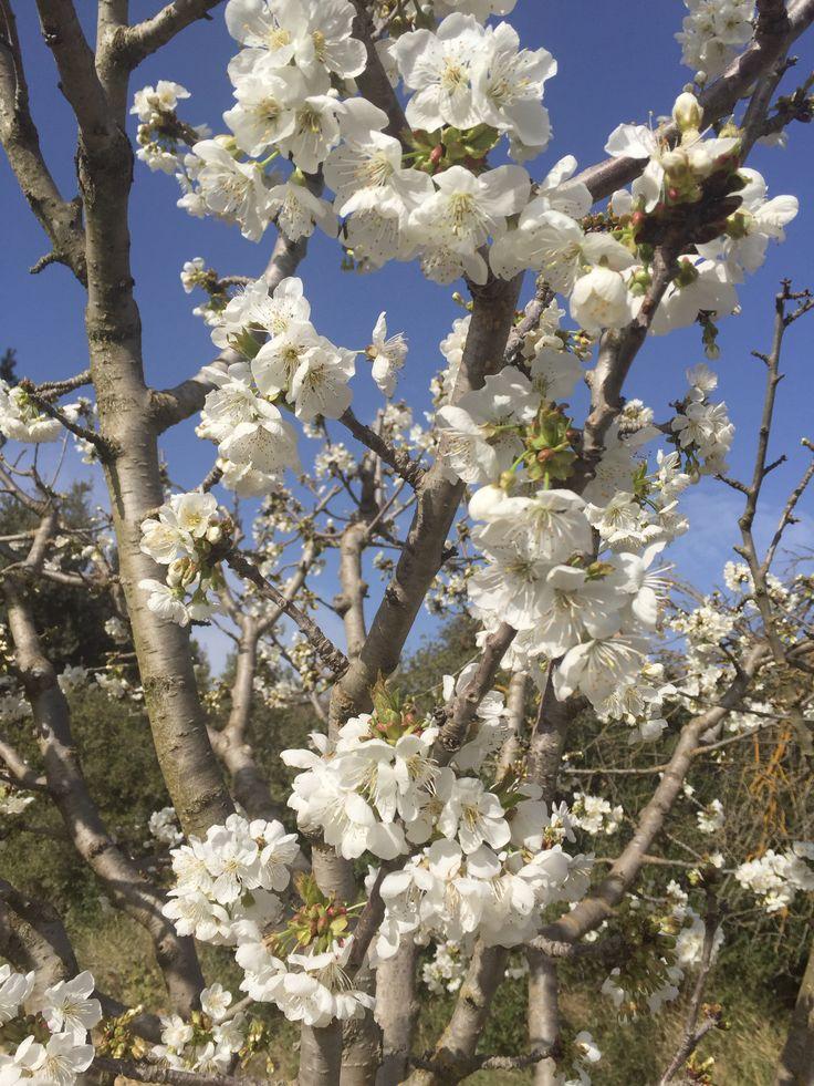 Cerisiers en fleurs au domaine des Peyre, espérons que Events et insectes les épargnerons et que nous arriverons en juin à ramasser ses succulentes cerises ...