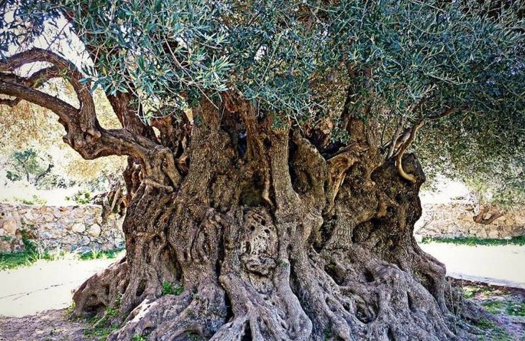 """The cultivation of the olive tree  is spread all over Greece since ancient times. It goes back to 4000 BC! Greeks  have always referred to their olive oil as the """"the liquid gold"""" of their country."""