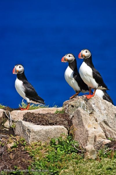 Three Atlantic Puffins overlooking the water of Bonavista Bay in Nfld.