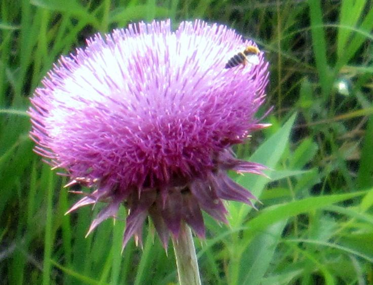 Russian Thistle Flower