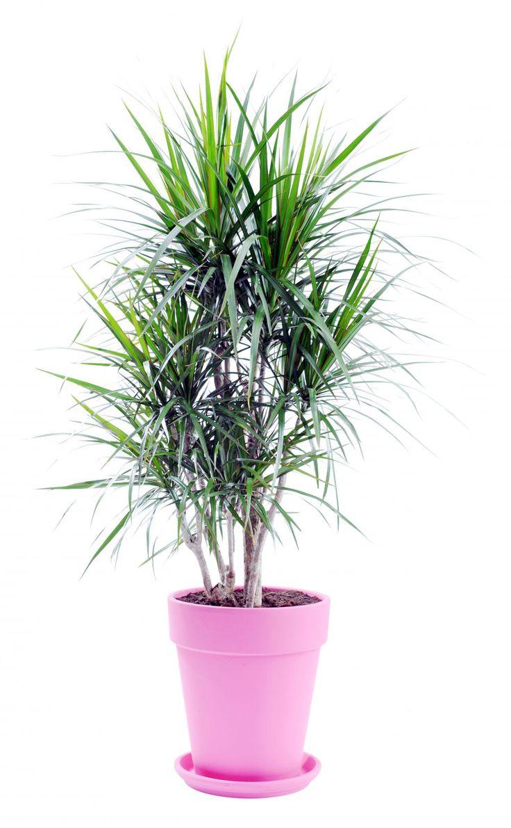 Der Drachenbaum (Dracaena) ist kein Baum im eigentlichen Sinne: Er macht kein baumtypisches Dickenwachstum, sondern besitzt einen palmenähnlichen, verholzten Stamm. Die Pflanzen kommen im Zimmer mit relativ wenig Licht aus. Die geringsten Lichtansprüche hat der einfarbig grüne Kanarische Drachenbaum. Nur mäßig gießen