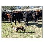 One of my Koolies, Kabookie, working cattle at the yards.