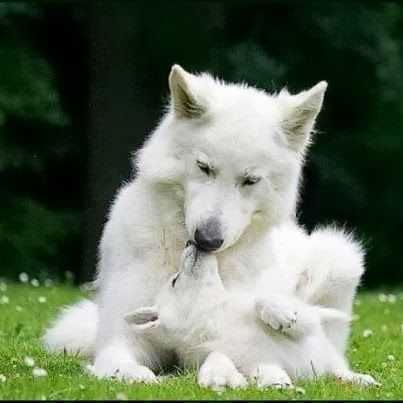 Wolves - Mama giving her pup unconditional love and attention.                                                                                                                                                                                 More