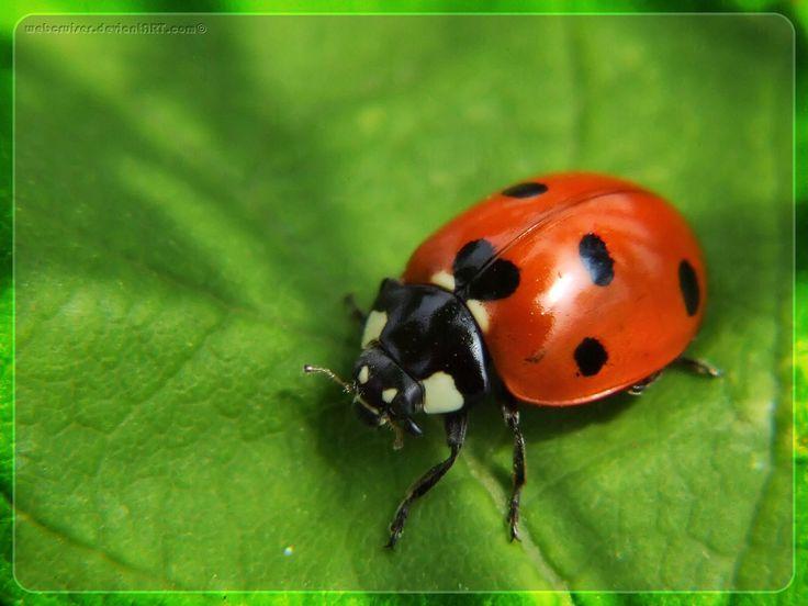 another beautiful ladybug!!! | Joaninhas | Pinterest