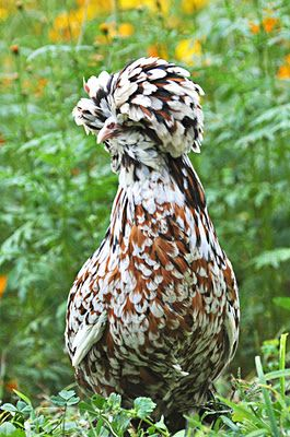 Female Tolbunt Polish. In other words, a fancy chicken.