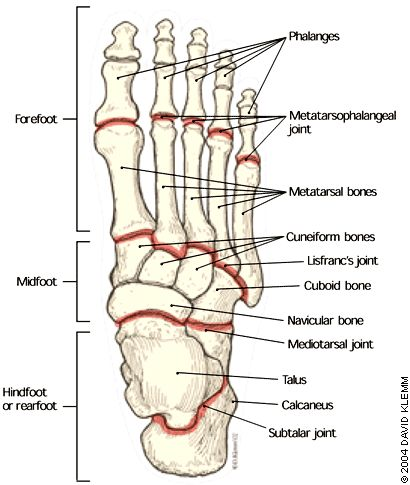 Foot Bone Anatomy On HealthFavo.com - Health, Medicine and Anatomy Reference Pictures