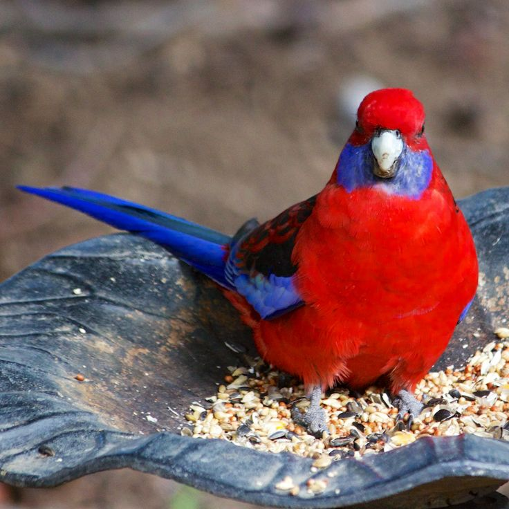 We have a bird feeder in our back yard. Really, it's a bird bath, with the little metal frog and all, but mostly it's full of birdseed so i can attract the beautiful parrots we see around here.  This afternoon's treat is a crimson rosella, a lovely bright bird.