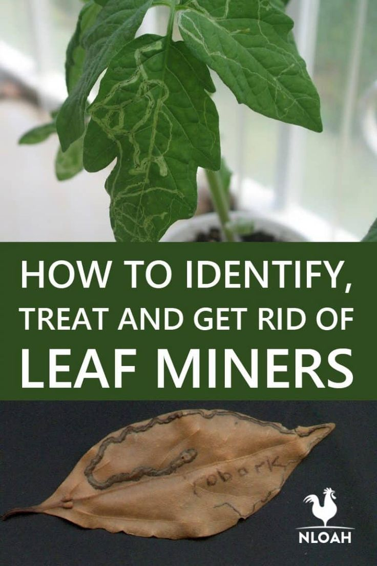 How to identify treat and get rid of leaf miners new