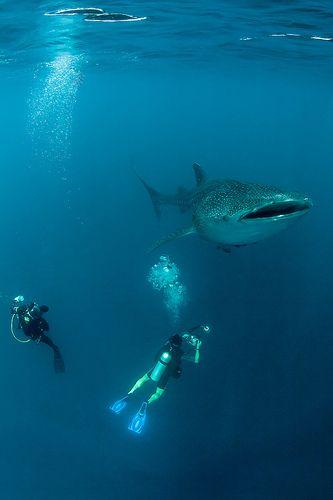 Whale shark #photo  Cool!