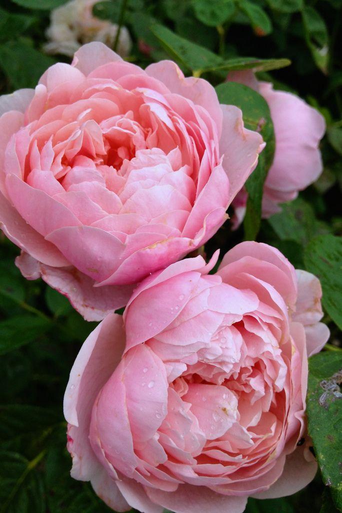 'The Alnwick' | Shrub. English Rose Collection. David C. H. Austin, 2001 | Flickr - © Kiri Wood