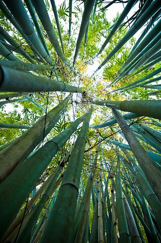 The Chinese Bamboo Tree- patience