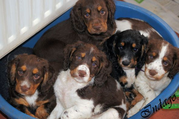 working cocker spaniel puppies - A Basket of Trouble