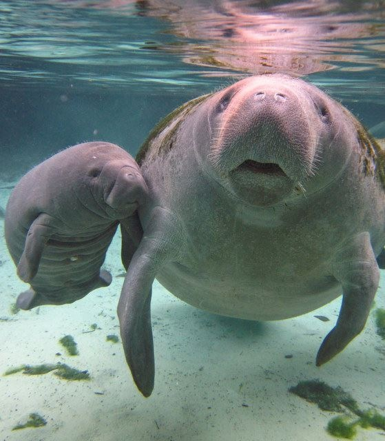 Manatees~~~  How adorable they are