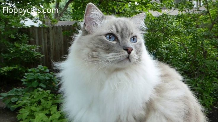 Blue Lynx Mitted Ragdoll Cat Trigg Meowing and Smelling Something Outside – ねこ- Floppycats