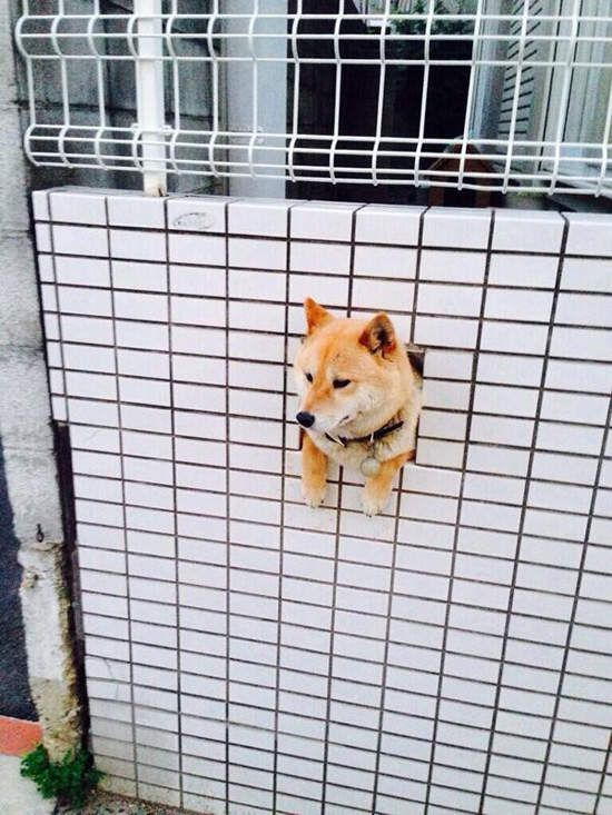 Best Animals Images On Pinterest Animals Puppies And Baby - Three shiba inus stick their heads through wall to greet passers by