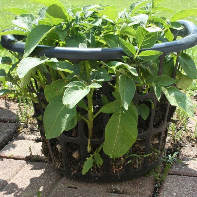 """Grow Potatoes in laundry basket. Line the laundry baskets with straw to help keep the dirt in, but still allow the potato shoots to grow through the sides. And yes, when you """"hill"""" the potatoes you cover up all but the top few leaves. It's best to hill every 7-10 days and add a little dirt more often than a whole bunch of dirt over a big chunk of the plant at once."""