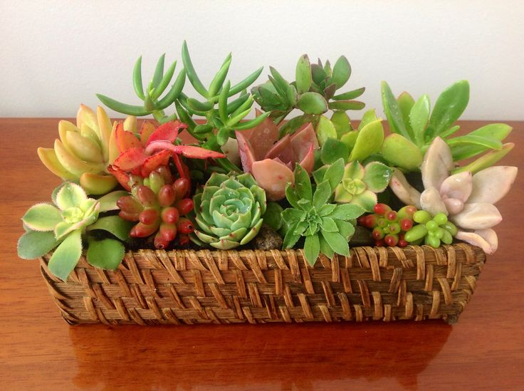 Succulents in a small cane basket